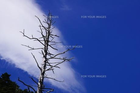 夏の空、立ち枯れた木の素材 [FYI00331977]