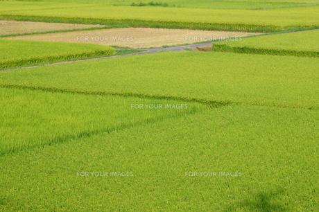 田んぼ、実り、もう刈られた田もの素材 [FYI00332007]