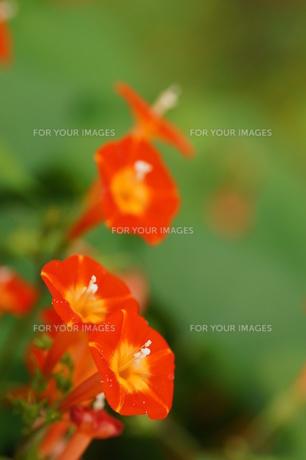 マルバルコウソウの花の素材 [FYI00332049]