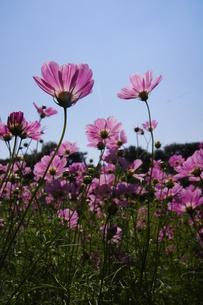 ピンクのコスモス、透過光の素材 [FYI00332086]