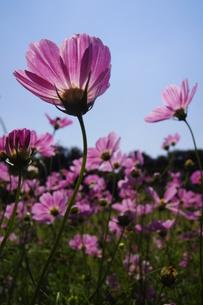 ピンクのコスモス、透過光の素材 [FYI00332095]