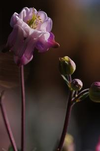 オダマキの花、変わり咲きの八重の素材 [FYI00332247]