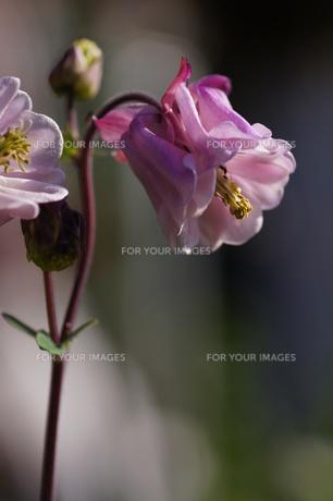 オダマキの花、変わり咲きの八重オダマキの素材 [FYI00332252]
