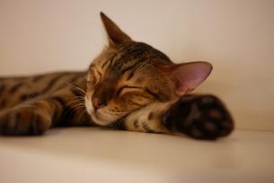 腕枕して寝ている猫の写真素材 [FYI00332552]