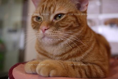 茶虎の猫のアップの写真素材 [FYI00332556]
