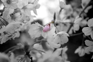 桜満開 桜のつぼみの写真素材 [FYI00332557]