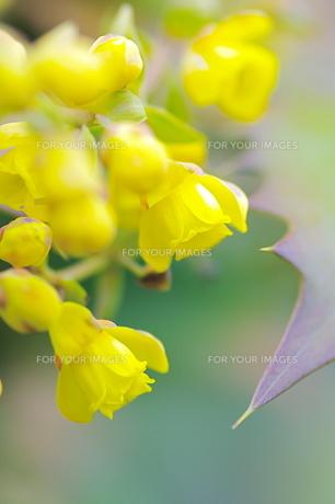 柊南天の花の写真素材 [FYI00332623]