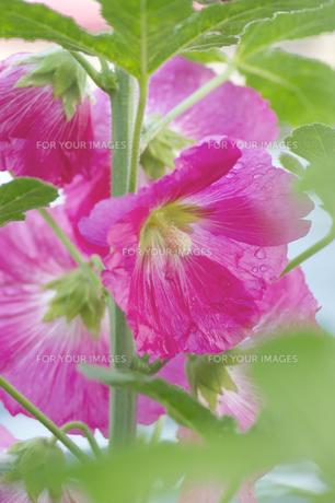 タチアオイの花の素材 [FYI00332630]