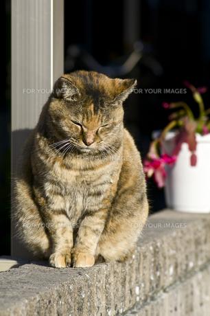 塀の上の三毛猫の写真素材 [FYI00332750]