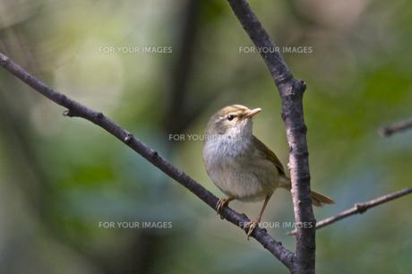 枝にとまるウグイスの写真素材 [FYI00332769]