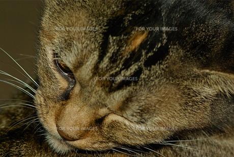 猫の顔の写真素材 [FYI00332825]