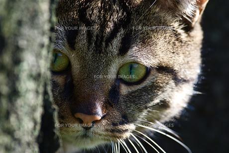 こっちを見る猫の写真素材 [FYI00332836]