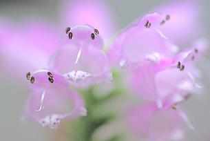 ハナトラノオの花の素材 [FYI00332869]