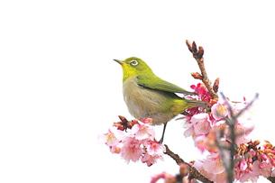 メジロと寒桜の写真素材 [FYI00332891]