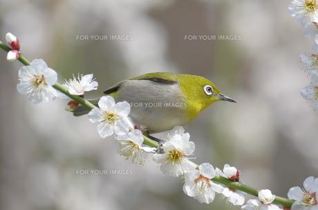 メジロと白梅の写真素材 [FYI00332917]
