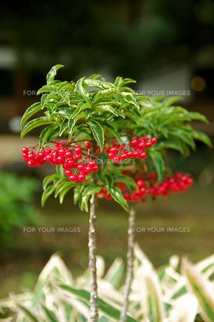 マンリョウの盆栽の写真素材 [FYI00332925]