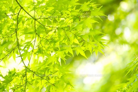 新緑のモミジの葉の素材 [FYI00332926]
