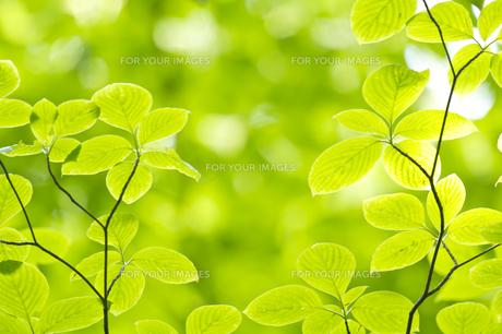新緑のミズキの葉の素材 [FYI00332963]