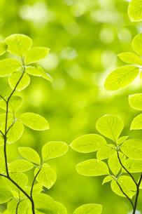 新緑のミズキの葉の素材 [FYI00332970]