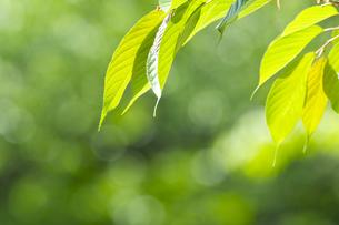新緑のサクラの葉の素材 [FYI00332989]