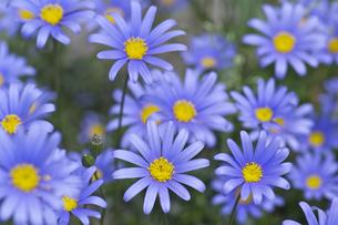 ブルーデイジーの花の写真素材 [FYI00333008]