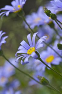 ブルーデイジーの花の写真素材 [FYI00333012]