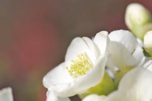 白い木瓜の花の素材 [FYI00333018]