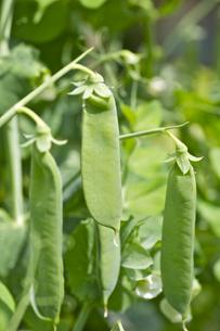 エンドウ豆のさやの写真素材 [FYI00333112]