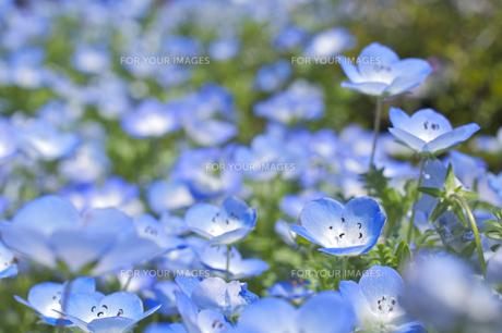 ネモフィラの花の素材 [FYI00333135]