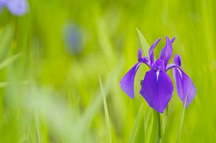 カキツバタの花の写真素材 [FYI00333157]