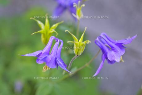 オダマキの花の素材 [FYI00333168]