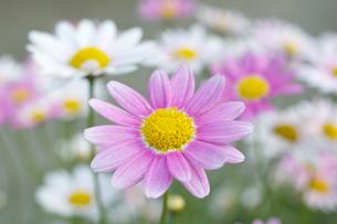 ピンクと白のマーガレットの写真素材 [FYI00333173]