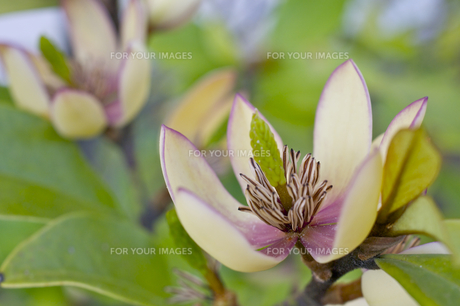オガタマの花の素材 [FYI00333178]