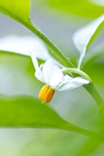 フユサンゴの花の写真素材 [FYI00333206]