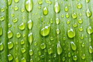 葉と水滴の写真素材 [FYI00333269]