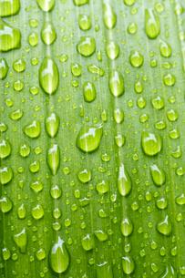 葉と水滴の写真素材 [FYI00333279]