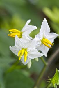 イヌホオズキの花の写真素材 [FYI00333288]