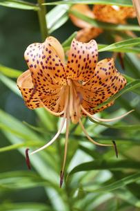 オニユリの花の写真素材 [FYI00333340]