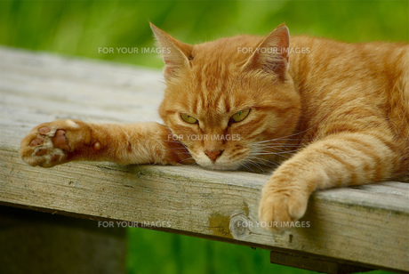 ベンチで寝る猫の肉球の写真素材 [FYI00333360]