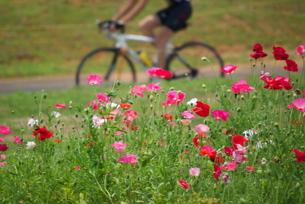 荒川河川敷のポピーと自転車の写真素材 [FYI00333369]