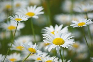 マーガレットの花の写真素材 [FYI00333371]