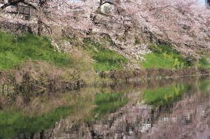 皇居外濠の桜並木の写真素材 [FYI00333422]