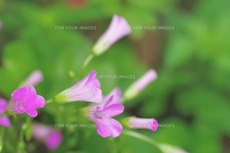 ムラサキカラバミの花の素材 [FYI00333424]
