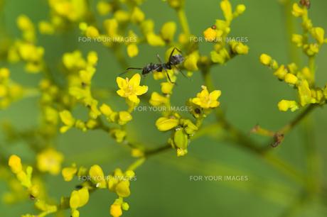 オミナエシの花にアリの写真素材 [FYI00333487]
