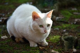 見つめる白猫の写真素材 [FYI00333555]