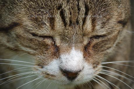 眠る猫の顔の写真素材 [FYI00333557]