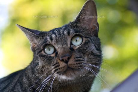 猫の顔のアップの写真素材 [FYI00333578]