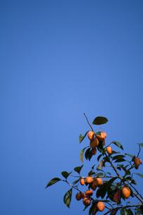柿の実と青空の写真素材 [FYI00333612]