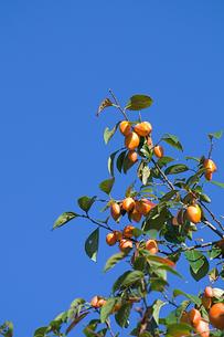 柿の実と青空の写真素材 [FYI00333624]