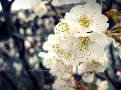 梅の花の素材 [FYI00333648]